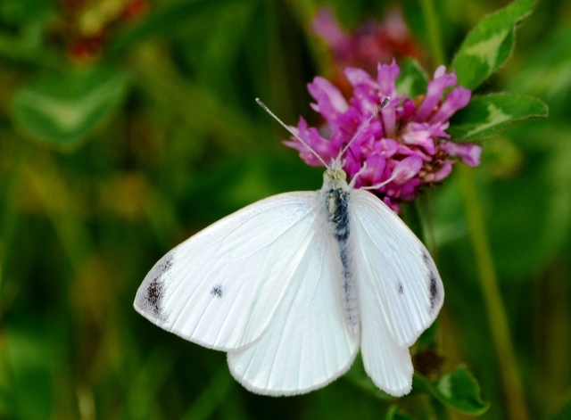 White Butterfly @ Clifton Gorge