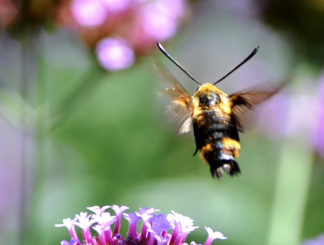 Hawk Moth In Flight