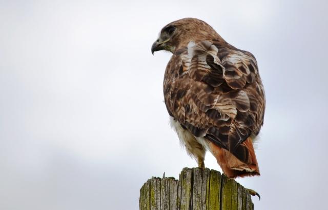 Redtail Hawk @ The Dawe's Arboretum