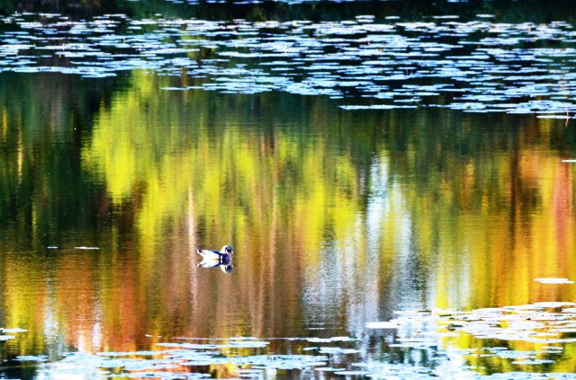 Wood Duck on Colorful Pond ~ Early Autimn