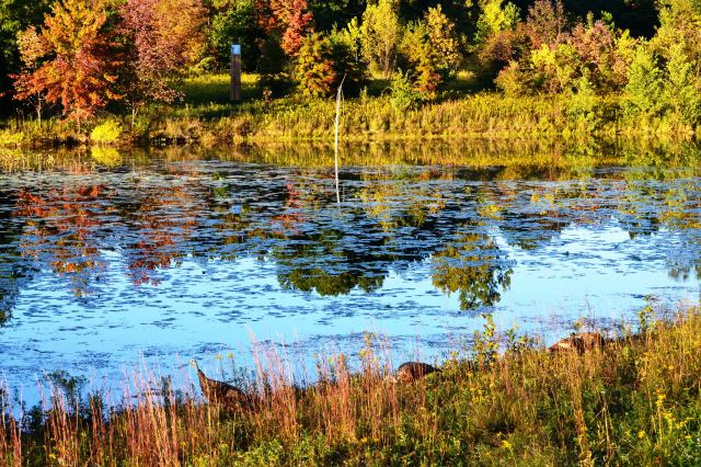 Wild Turkeys Enjoying Peaceful Autumn Pond