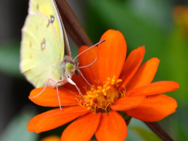 Yellow Butterfly on Orange Flower