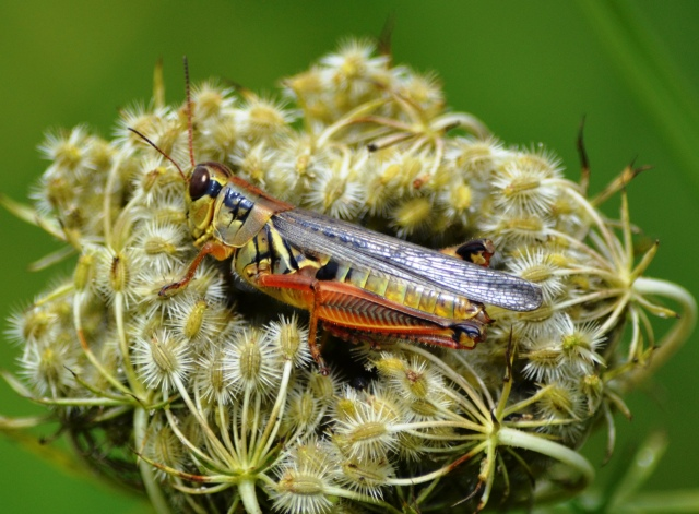 Grasshopper Riding Flower Cluster