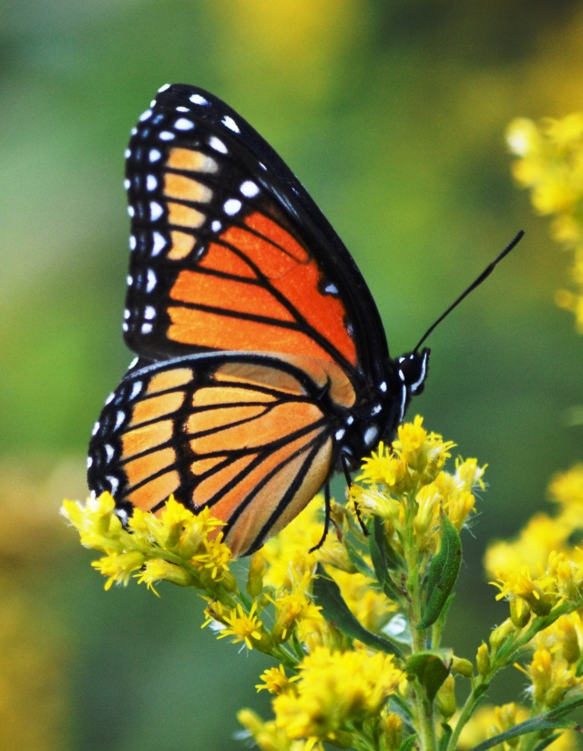 Monarch on First Day of Autumn