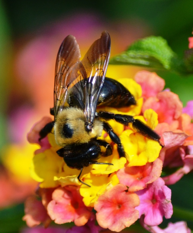 Bee Enjoying Colorful Lantana Pollen