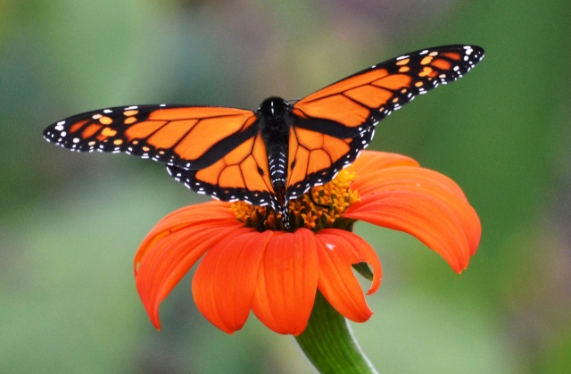 King of the Butterflies
