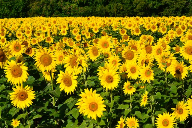 Field of Sunflowers #2