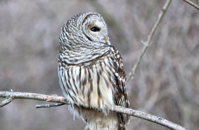 Barred Owl @ Blendon Woods