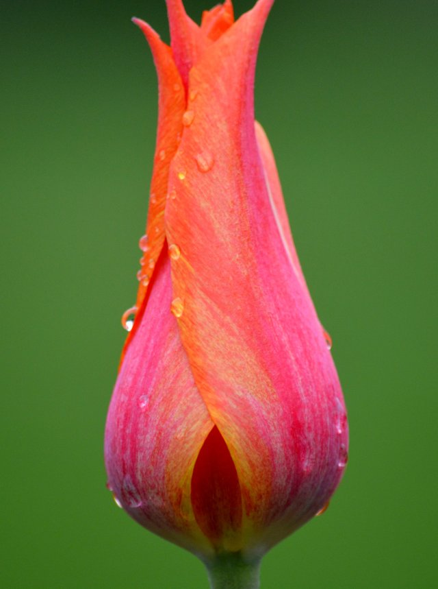 Young Tulip After Early Spring Shower