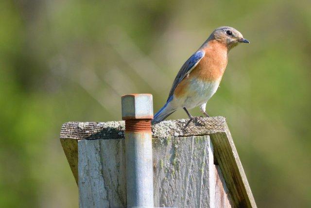 Eastern Bluebird ~ House Sitting
