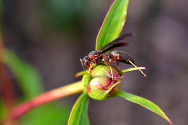 Wasp Enjoying A Peony