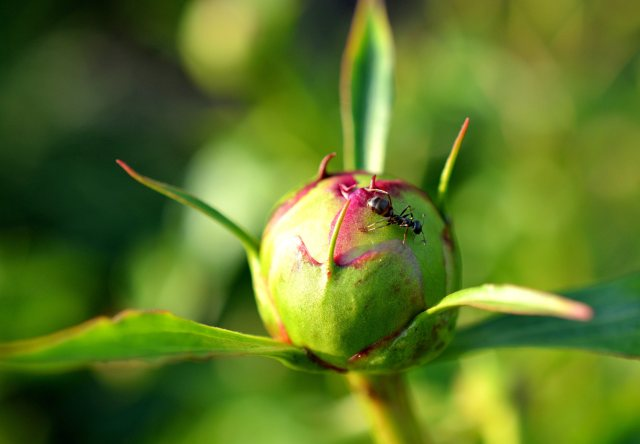 Ant Enjoying Peony in Afternoon Sun