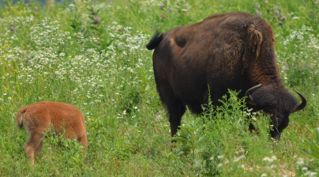Saturday @ Battelle Darby #3 ~ Mom and Baby Bison