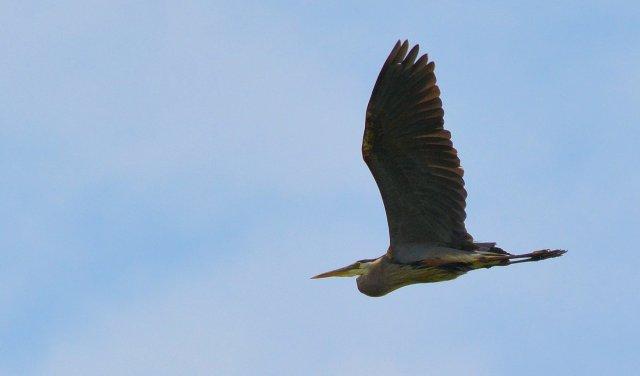 Saturday @ Battelle Darby #5 ~ Great Blue Heron