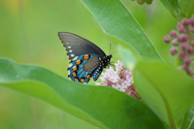 Saturday @ Battelle Darby #8 ~ Beautiful Blue Butterfly