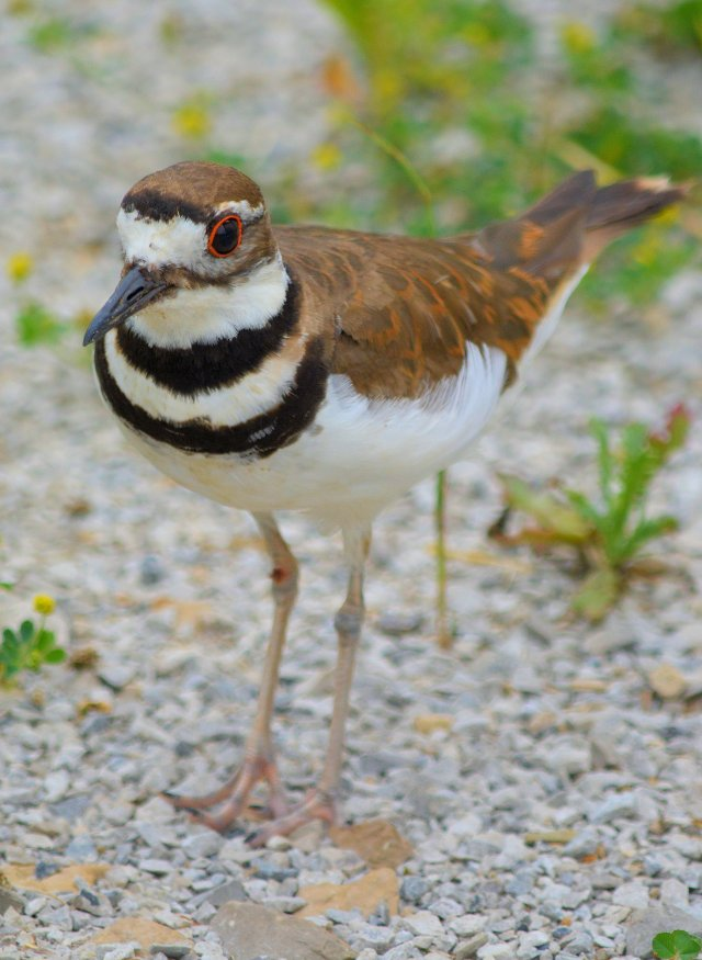 Saturday @ Battelle Darby #9 ~ Killdeer Profile