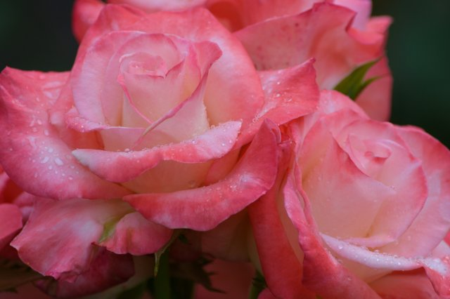 A Walk Through The Gardens During A Summer Rain #4 ~ Pink Roses