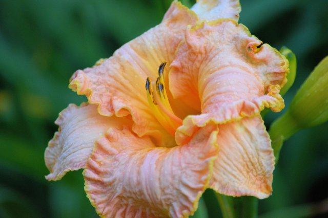 A Walk Through The Gardens During Rain #2 ~ Peach Lilly with Rain Drops