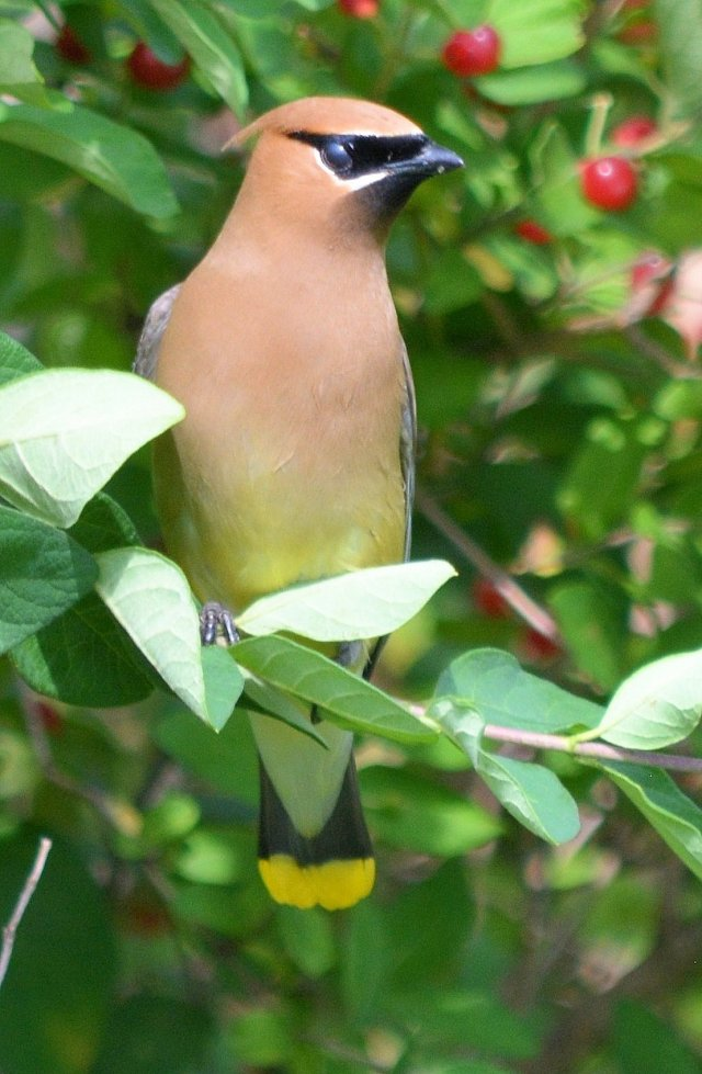 First Day of Summer ~ A Day with Birds, Shot #2, Cedar Waxwing