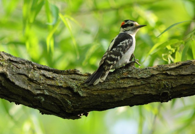 First Day of Summer ~ A Day with Birds, Shot #4, Cute Woodpecker