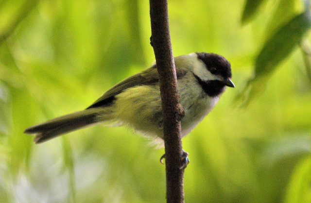 First Day of Summer ~ A Day with Birds, Shot #3, Chickadee Peekaboo