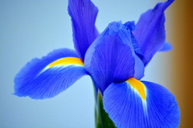Vibrant Blue Iris