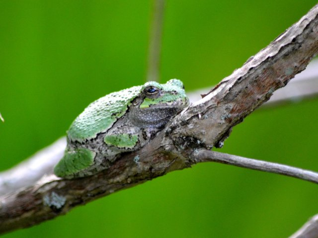 Tree Frogs Are Cool!