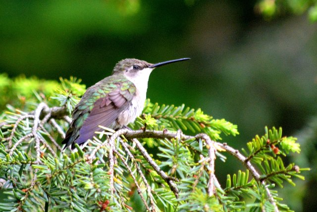 Ruby-Throated Hummingbird, Resting