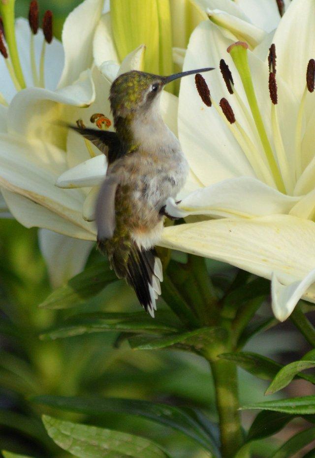 Ruby-Throated Hummingbird Enjoying Lily