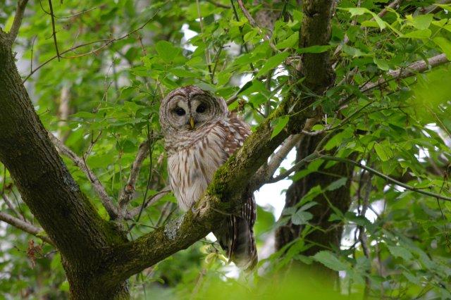 Beautiful Barred Owl