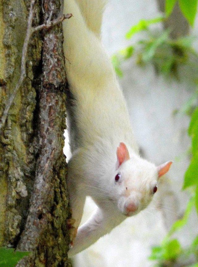 True Albino Squirrel