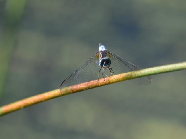 Dragonfly Head-On